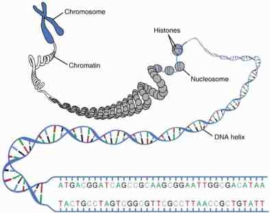 A DNA molecule is tightly wound into structures called chromosomes.  Chromosomes reside in the nuclei of cells.
