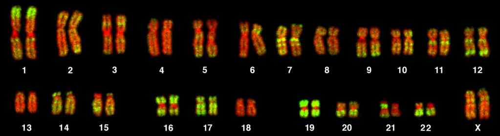 uman cells contain 23 pairs of chromosomes.  At conception, one chromosome from each chromosome pair is inherited from the other and the other from the father.  The identity of the chromosomes within the 23rd pair determines the sex of the individual.  A female has two X chromosomes in the 23rd pair, (XX) while a male has one X chromosome and one Y chromosome (XY).