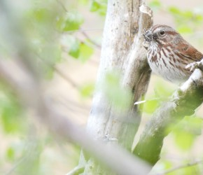 wildlife_song-sparrow