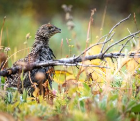 wildlife_young-grouse