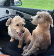 Two small dogs (terrier mixes) sitting in the front seat of a car