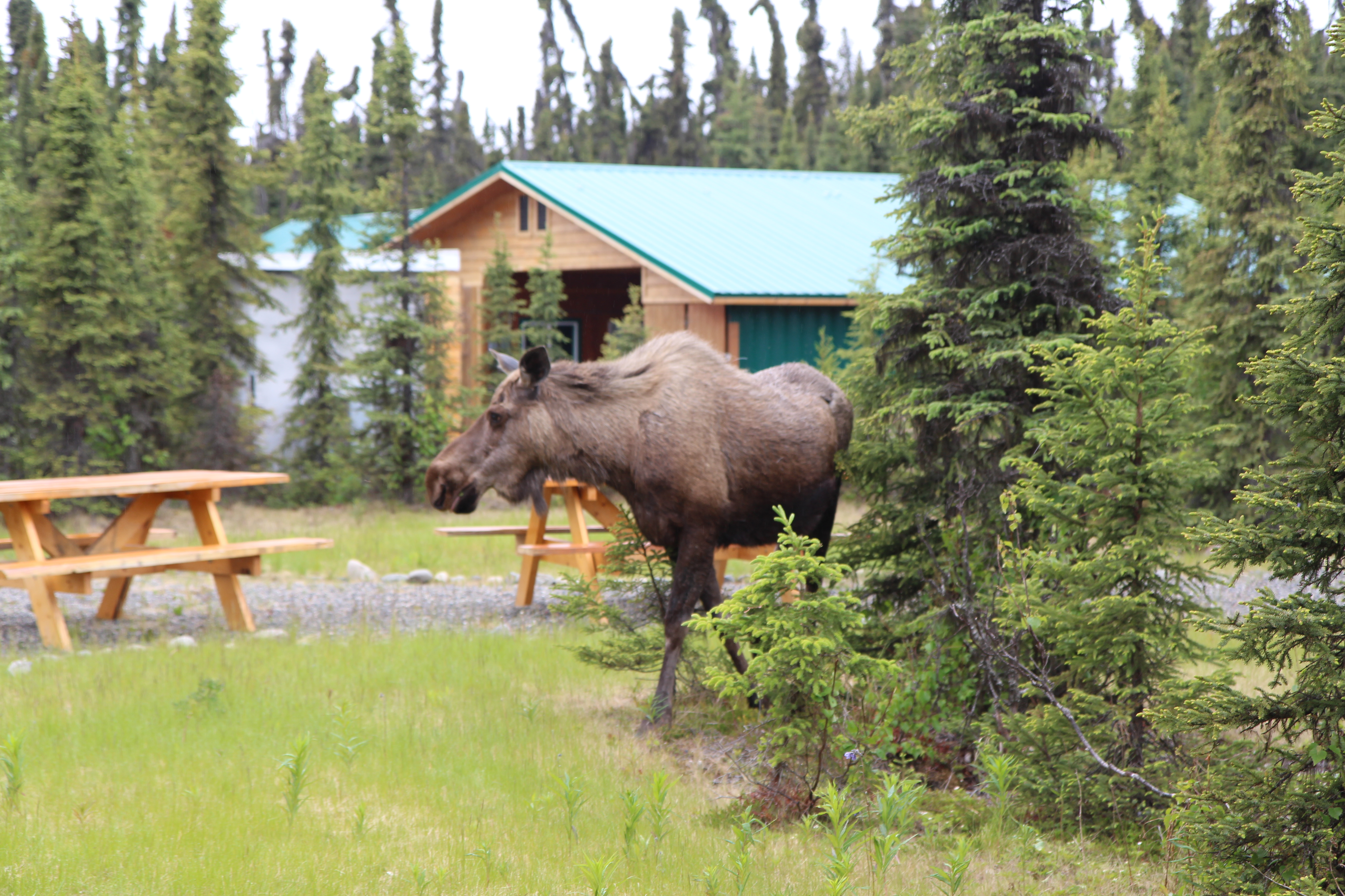 moose-at-sun-catcher-lodge