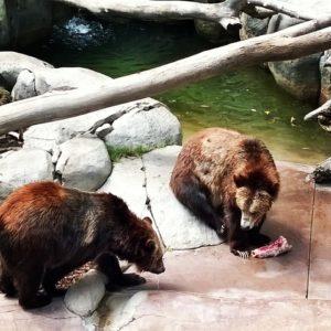 4-12-14 SD Zoo Bears