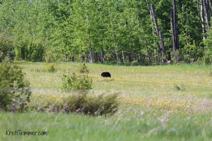 5-30-14 Black Bear