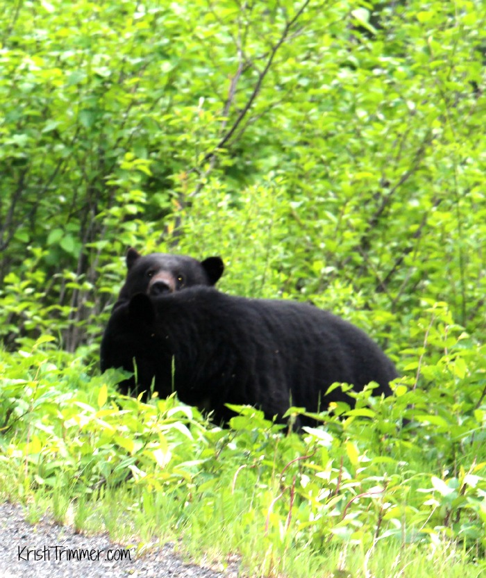 5-31-14 Black Bear - Peekaboo