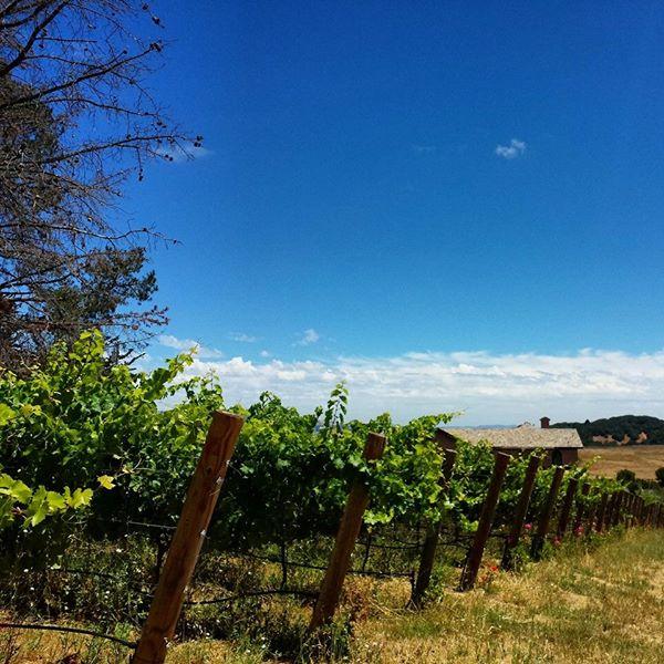 7-22-14 Petaluma Grape Vines
