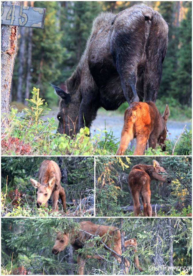 6-10-14 Moose and Baby