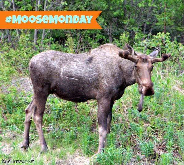 Moose Monday - Girdwood 2