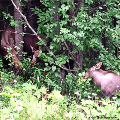 Moose Monday – On the Move!
