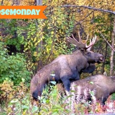 #MooseMonday – Oh My Eyes!