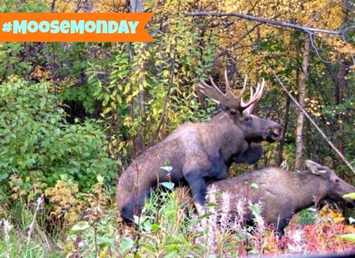 Moose Monday Rutting