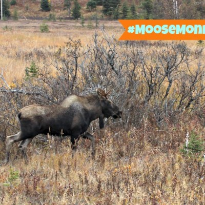 Moose Monday – Homer Overload