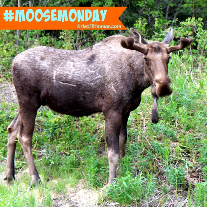 Moose Monday - Good Morning