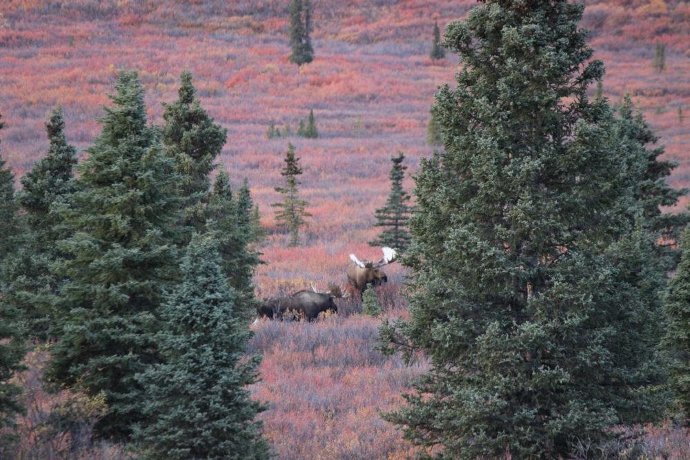Moose Rutting in Denali National Park #moose #denali #denalinps #alaska #travelalaska