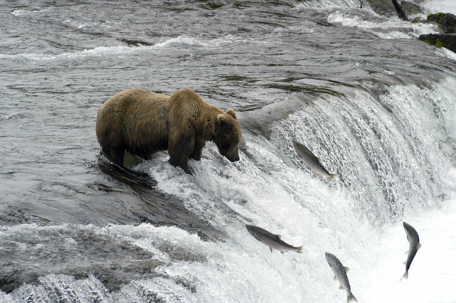 Brown Bears in Alaska fishing
