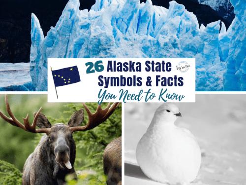 Alaska State Symbols & State Facts that you need to know. #alaska #alaskafacts #alaskatravel