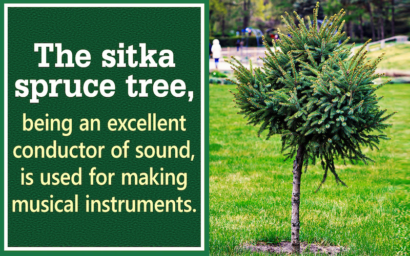 Sitka Spruce Trees are the state tree of Alaska. They are excellent conductors of sound and are used for making musical instruments. #alaskafacts #sitkaspruce #themoreyouknow