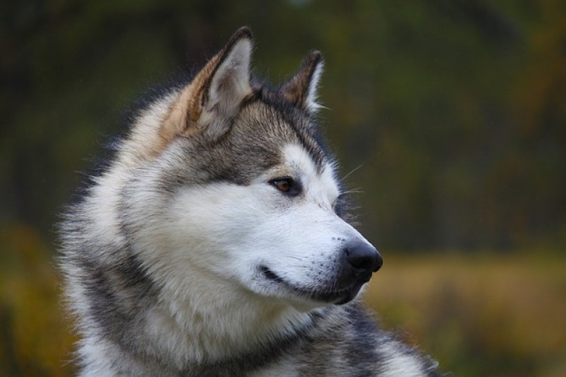 Alaska State Dog - the Alaskan Malamute was bred for their strength and endurance to haul heavy freight #alaskanmalamute #alaskadogs #sleddogs
