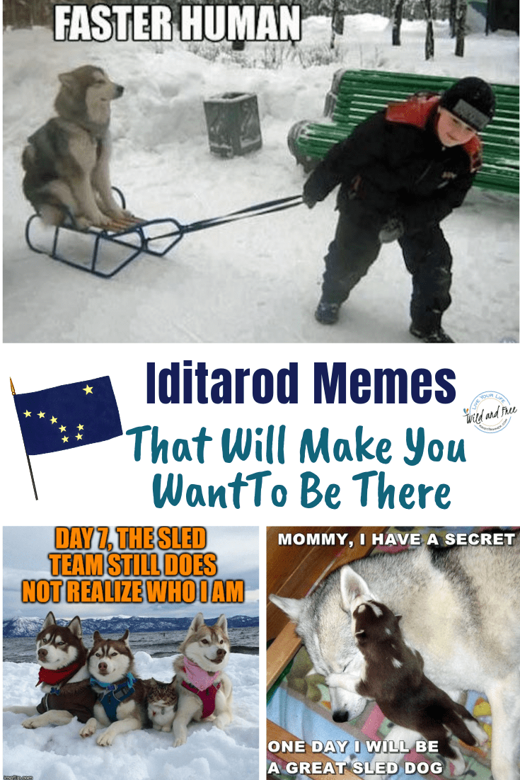 Iditarod Memes That Will Make You Want To Be There #dogsledding #iditarod #dogmemes #memes