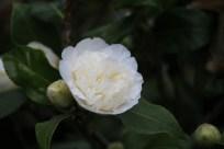de camellia brushfield yellow bloeit vroeg in het voorjaar in de serre