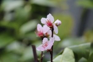 de perzik die altijd vroeg bloeit toont zijn roze pracht.