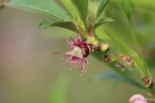 een bevrucht bloemetje waar het embryonale perzikje reeds zichtbaar is