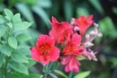 alstroemeria red elf: deze kweken zeer makkelijk en geven een overdaad aan bloemen, in een serre in volle grond heb je gegarandeerd 6 maanden bloemen die je als snijbloem kan gebruiken