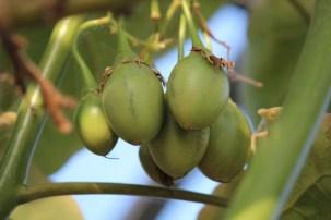 Juli 2013: na enkele weken zijn de vruchten al een 3tal cm lang.