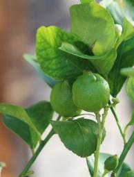 11-01-2014: citroenen die nog wat moeten aandikken