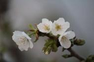 23-03-2014: misschien wel de meest pure: witte kersenbloesems met gele meeldraden (in de serre)