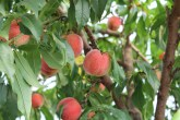 15-06-2014 : wanneer de vruchten een noot groot zijn, worden ze drastisch gedund tot ongeveer 1/3
