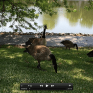 Geese Meditation: an Attention Restoration Meditation  (1 minute)