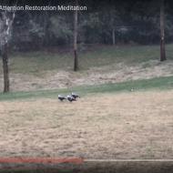 Mount Barker Magpies: an Attention Restoration Meditation (2 minutes)