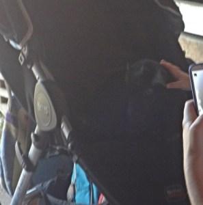 goat in stroller-blog copy
