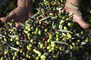 Olíva szüret 1