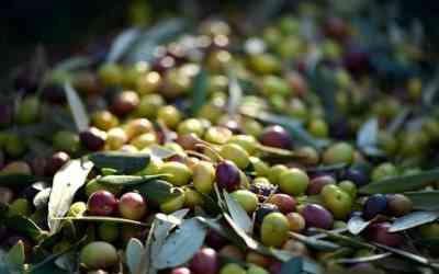 Olíva szüret életképek