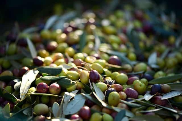 Egy szekszárdi lány olíva szüreten