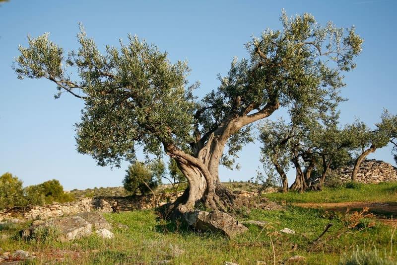 Olive Harvest in Krk Island