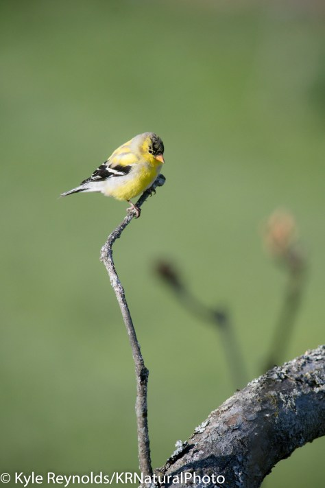 This is a photograph of an American Goldfinch that is still molting into its breeding plumage in Upstate, New York