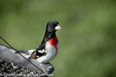 Rose-Breasted Grosbeak at a bird feeder in the finger lakes region of upstate, New York.