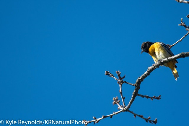 Baltimore Oriole perched on oak tree in Upstate, New York