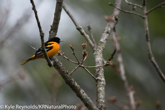 Baltimore Oriole in Upstate, New York