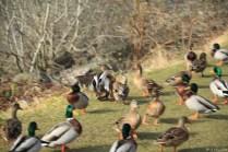 Entenpopulation am Loch Earn