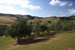 der Olivenhain hinterm Weingut