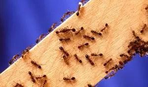 Үйдегі құмырсқалардан немесе пәтерде қалай арылуға болады: олардың сыртқы келбеті, олармен күресудің және алдын-алу шараларын қолданудың себептері