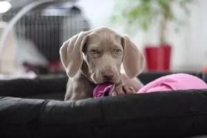 Lenhing per il cane: descrizione dei momenti chiave, istruzioni passo-passo che producono con le loro mani (140+ foto e video) + recensioni
