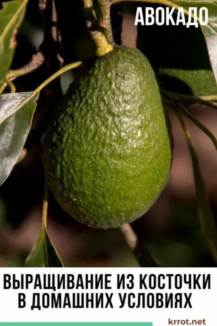Авокадо үйдегі