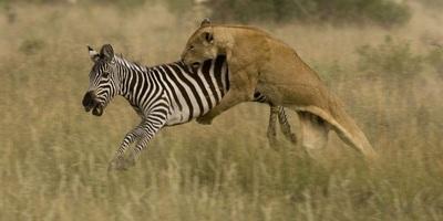 lloness with zebra prey සඳහා පින්තුර ප්රතිඵල