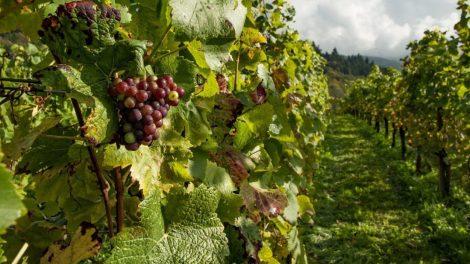 grapes festival