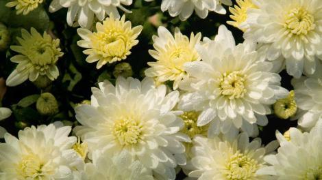 शेवंती फुल
